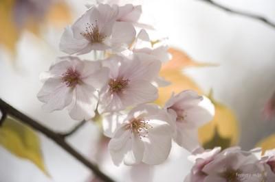 2010.04.18 桜