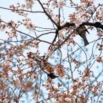 桜につがいで