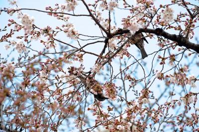 桜の花につがいで