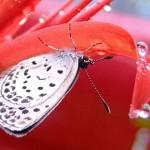彼岸花とシジミチョウ