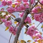 八重桜と鳥