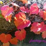 赤い蔦の葉