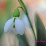 スノードロップの可愛い花