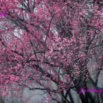 鮮やかな紅梅の花