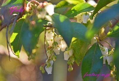 母の庭のドウダンツツジ 冬に花