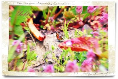 シジミ蝶 (ベニシジミ)