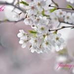 春の光と桜の花
