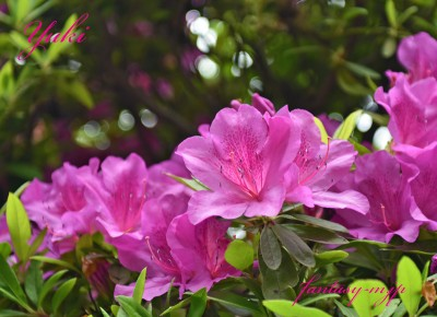 つつじの花 喜多院