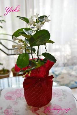 母の日のプレゼント マダガスカルジャスミン