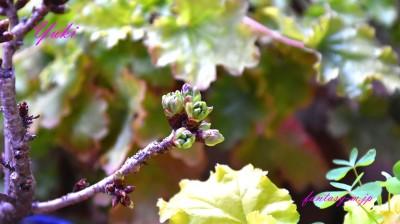 我が家の桜の蕾