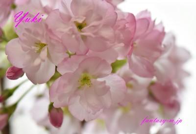 桜 「旭山」 満開です