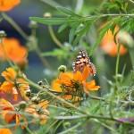 キバナコスモスと蝶々