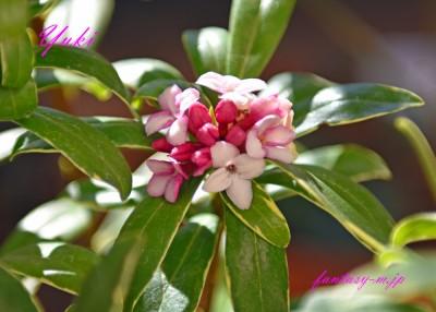 ベランダの沈丁花