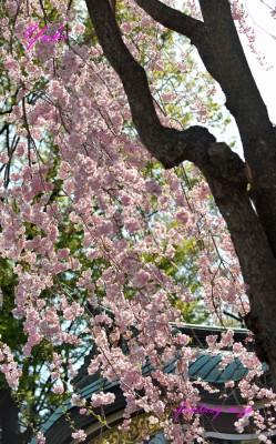 枝垂れ桜 2018年3月