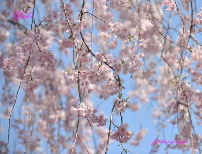 枝垂れ桜 ふんわり 2018年3月