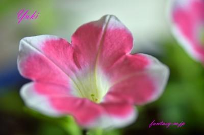 サフィニアの花