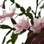 シャコハサボテンの花