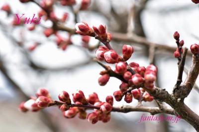 梅のつぼみ 2020.02.15