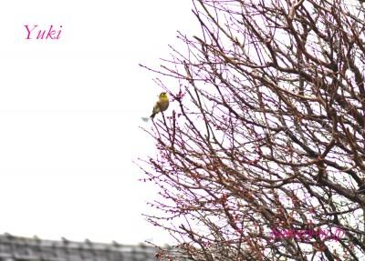 梅の木にメジロが