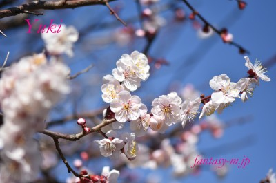 実家の梅の花 2020.02.22