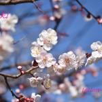 今年も梅の花が