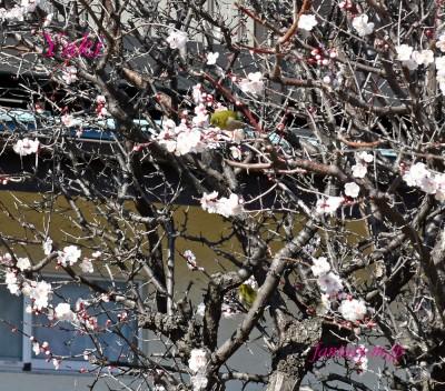 メジロが梅の花を 2020.02.22