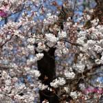 川越にも桜が咲きました