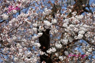 川越の桜 2020.03.21