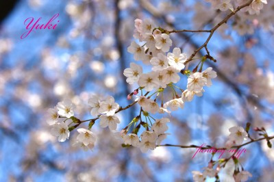 桜の花 2020.03.21