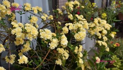 モッコウバラの花