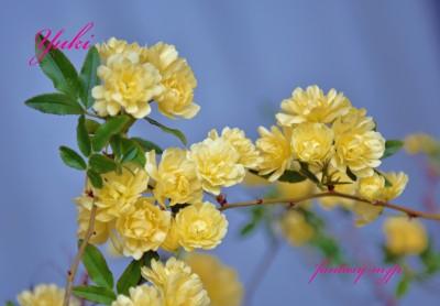 モッコウバラの黄色い花