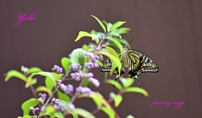 アゲハ蝶が!