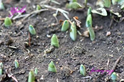 実家の水仙の芽