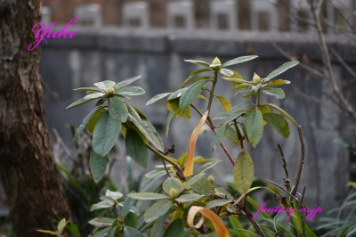 シャクナゲの芽 実家