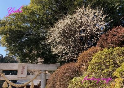 氷川神社に梅の花 2021年2月