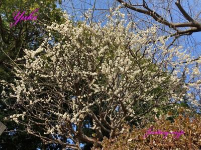 氷川神社の梅の花 2021年2月