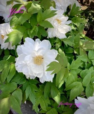 白い牡丹の花